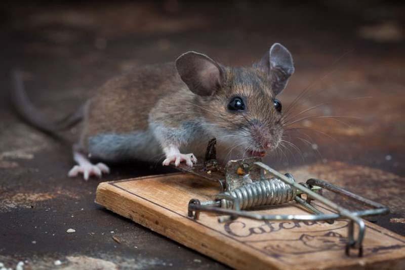 Голодные мыши