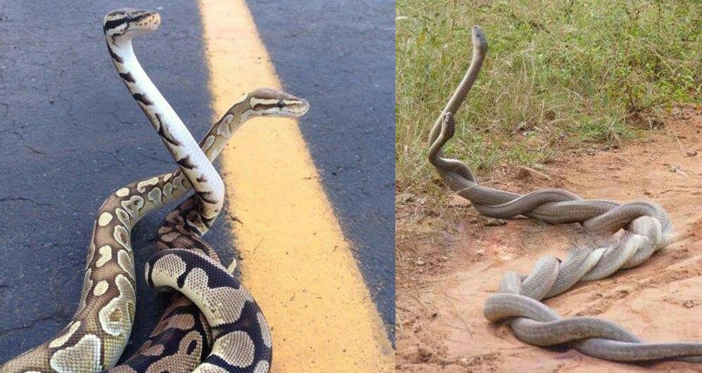 Агресивна змія