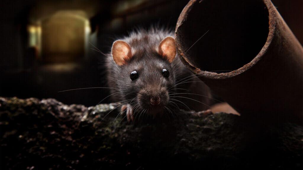 Грязные мыши