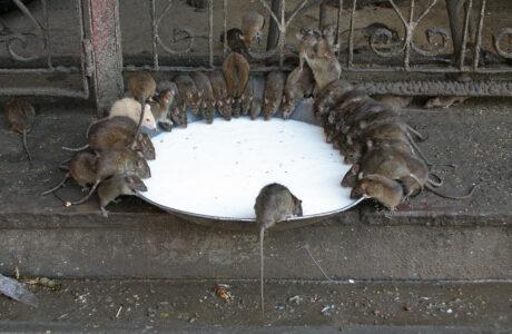 Бачити уві сні багато мишей