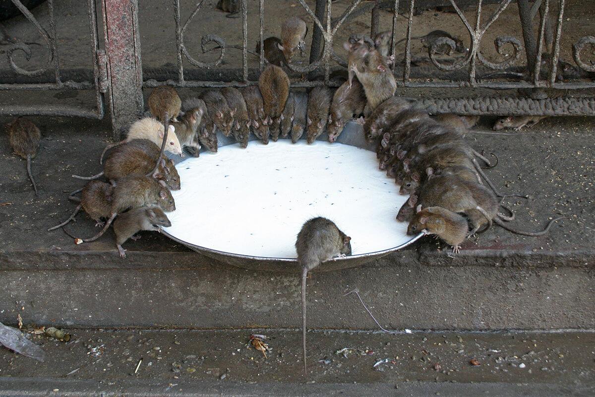 До чого сниться годувати багато мишей.