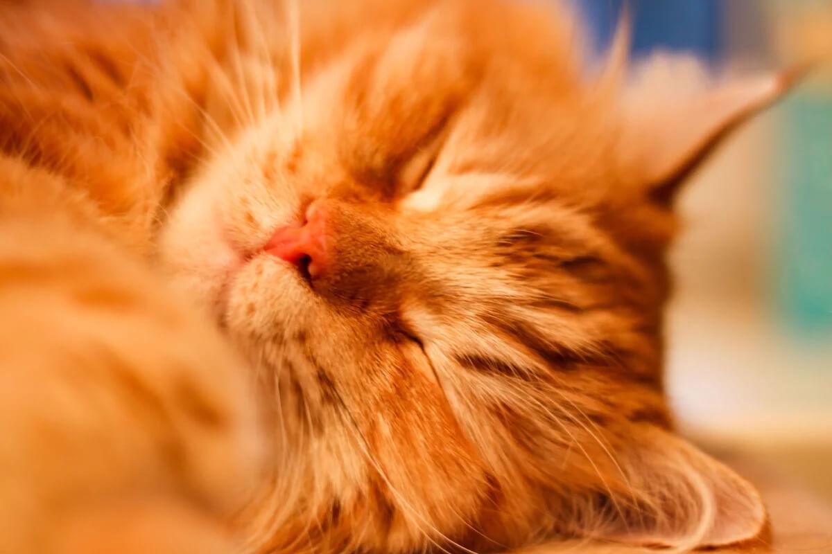 К чему снится рыжий кот по сонникам.
