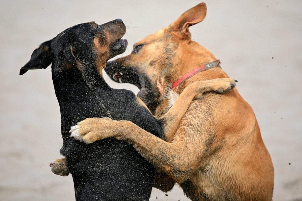 Собаки що б'ються, до чого сняться.