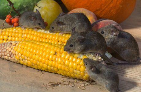 Наснилися маленькі миші - тлумачення сну за різними сонниками