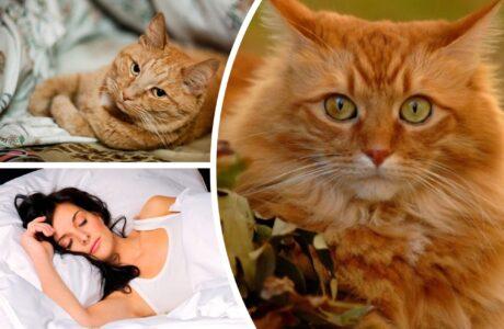 До чого сниться руді коти