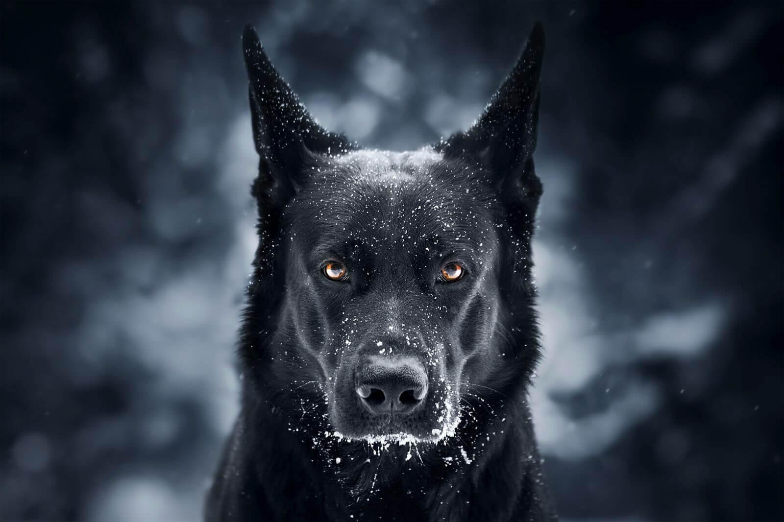 Собака черная.