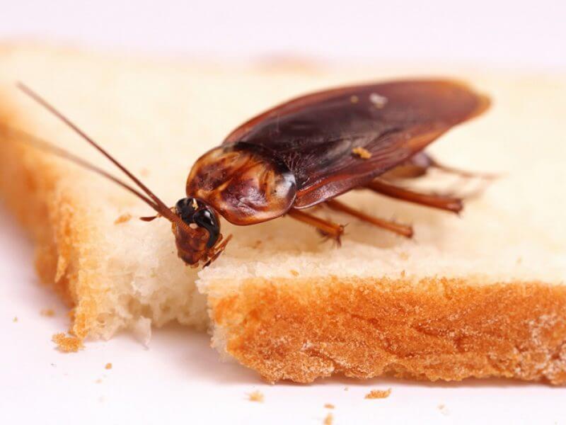 Тарган на білому хлібі