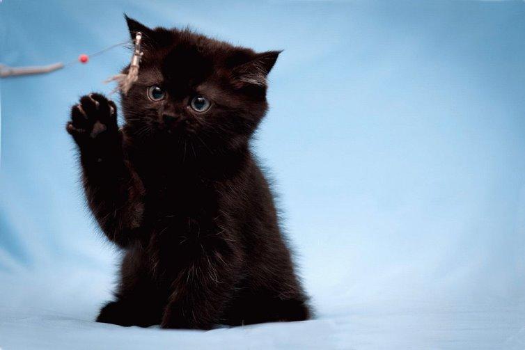 До чого сниться чорне кошеня тлумачення сну.