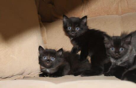 Наснилися чорні кошенята