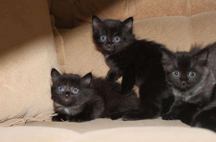 До чого сниться чорне кошеня трактування.