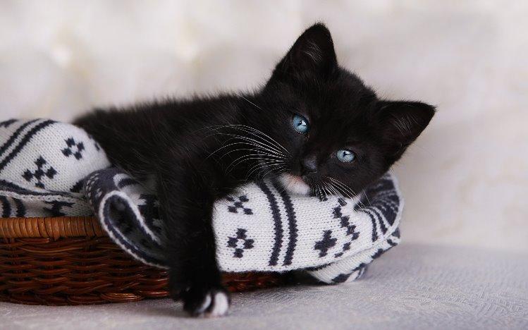 До чого сниться чорне кошеня значення сну.