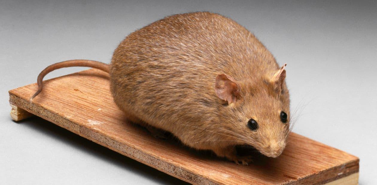К чему снятся мыши трактовка.