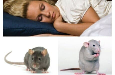 Що значить бачити мишей і щурів уві сні