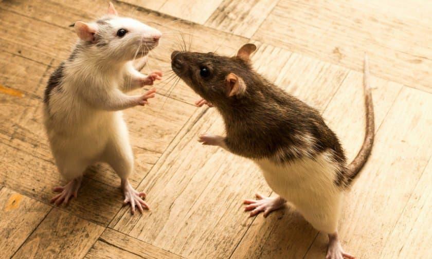 До чого сняться миші і щури тлумачення сну.