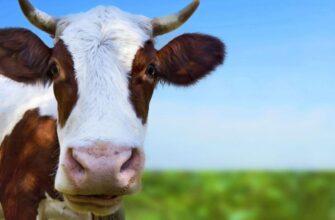 К чему снится корова.
