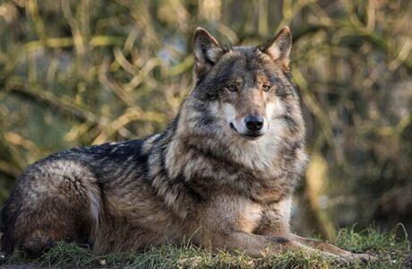 До чого сняться вовки які нападають