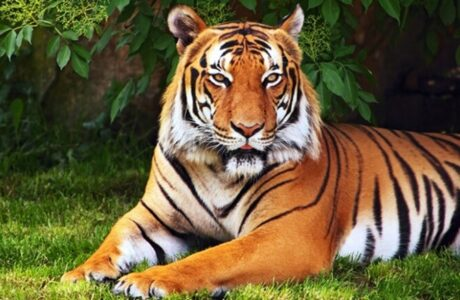 Приснился Тигр женщине или мужчине — толкование снов про Тигра во сне по сонникам