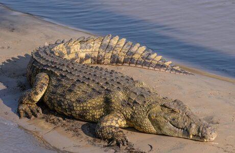 До чого сниться Крокодил жінці, чоловікові — тлумачення сну про Крокодила за сонниками