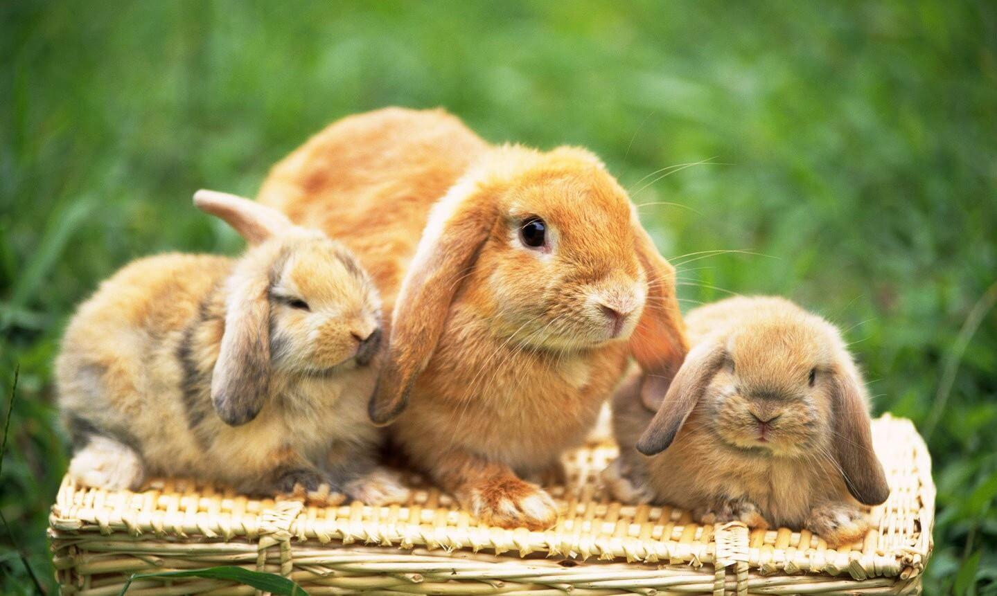 К чему снится кролик толкование сна.