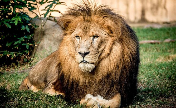 Лев снится