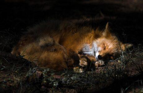 До чого сниться Лиса жінці або чоловікові — 65 тлумачень сну