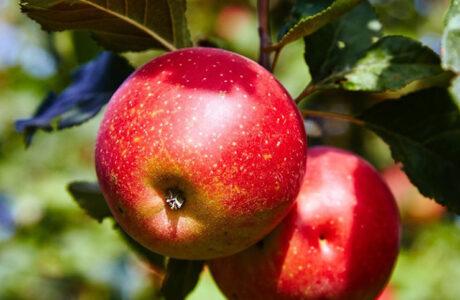 До чого сняться Яблука жінці або чоловіку — тлумачення сну про Яблука за різними сонниками