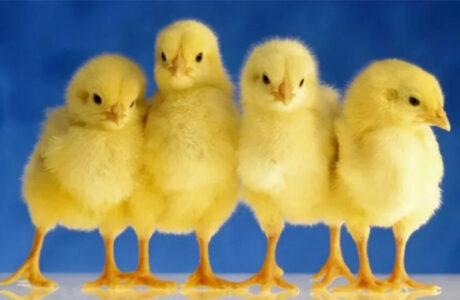 К чему снятся маленькие Цыплята женщине, мужчине — толкование сна про Цыплят по сонникам