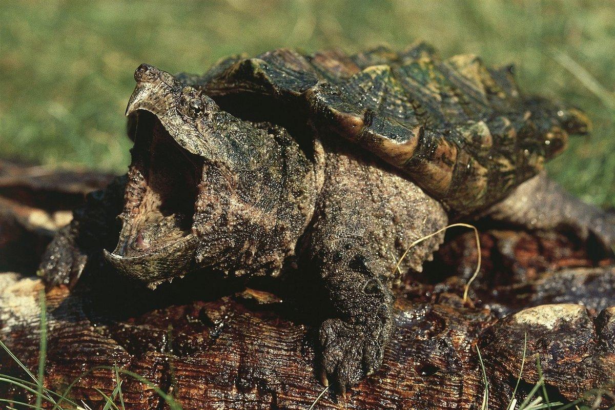 До чого сниться черепаха тлумачення.