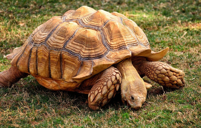 До чого сниться черепаха значення сну.