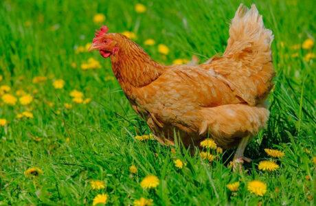 К чему снится Курица женщине, мужчине — 45 толкований сна