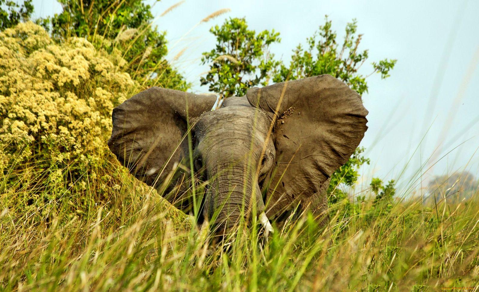 Пасущийся слон на лужайке